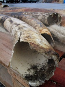 Tusks, close up with bloodstains visible. Part of around two tonnes seized in October 2003 by Hong Kong Customs, in Hong Kong, China. Credit Mari Park/ EIA