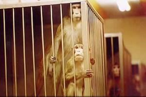 """""""In Deutschland gibt es jährlich ca. 2,5 Mio. Tierversuche, die völlig unnötiges, qualvolles Leiden für die Tiere bedeuten"""", so der Dürener Kreisverband von Bündnis 90/Die Grünen. Bild: Ärzte gegen Tierversuche"""