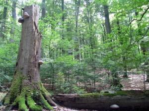 """Die Wanderung der landesweiten Reihe """"Urwälder von Morgen"""" führt am Sonntag in den Kermeter."""" Foto: A.Simantke/Nationalparkverwaltung Eifel"""