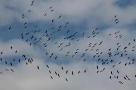 Zugvögel-unsortiert