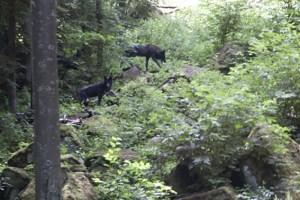 Diese Wölfe wurden in der Nähe von Gerolstein fotografiert, genauer gesagt im Adler- und Wolfspark Kasselburg. Bild: Michael Thalken/epa