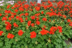 Farbiges für den Garten bietet der NEW-Blumenmarkt. Foto: Rodger Ody/NEW