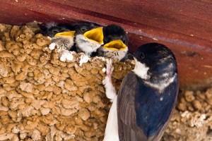 Junge Mehlschwalben werden gefüttert. Foto: NABU/Günter Lessenich