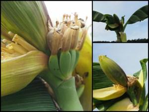 Eine Folge des Klimawandels? In Sötenich in der Eifel wachsen Bananen. Bild: Georg May