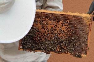 So manche Biene hat es sich auf dem Rahmen gemütlich gemacht und benötigt eine besondere Aufforderung, sich ein anderes Plätzchen zu suchen. Bild: Michael Thalken/Eifeler Presse Agentur/epa