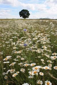 Neues Netzwerk möchte die Artenvielfalt der Rheinschen Bördelandschaft retten. Bild: Klaus Weddeling