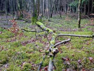 Moos im Nationalpark Eifel