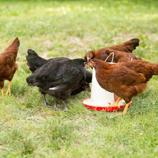 A Normal Morning Around the Farm with Chickens