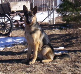 Aiden: German Shepherd Female Stunning Black and Red Female, Exceptional, Naturally Dark Pigment, Beautiful Black Eyes