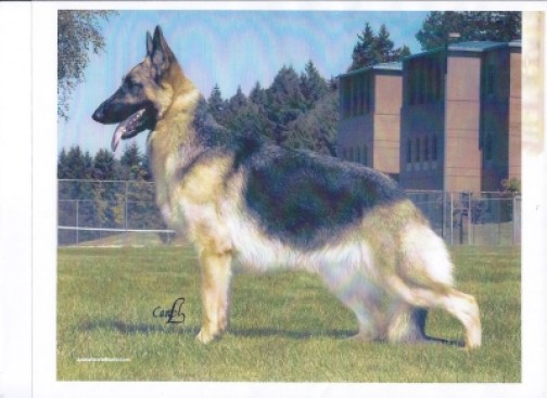 Brierhill's Miss Storm Deana, OFA Pointed: German Shepherd Female Remington's Dam