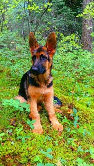 Freyja German Shepherd Puppy