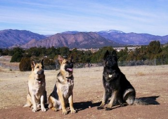 Knight, Gunner and Magnum: German Shepherd