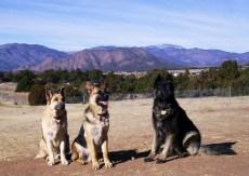 The Three Amigos - Our German Shepherds