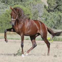 pvr_colorado_peruvian_paso_stallion-1