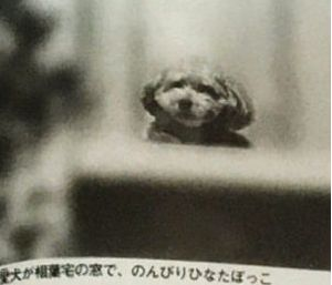 トイプードルの写真