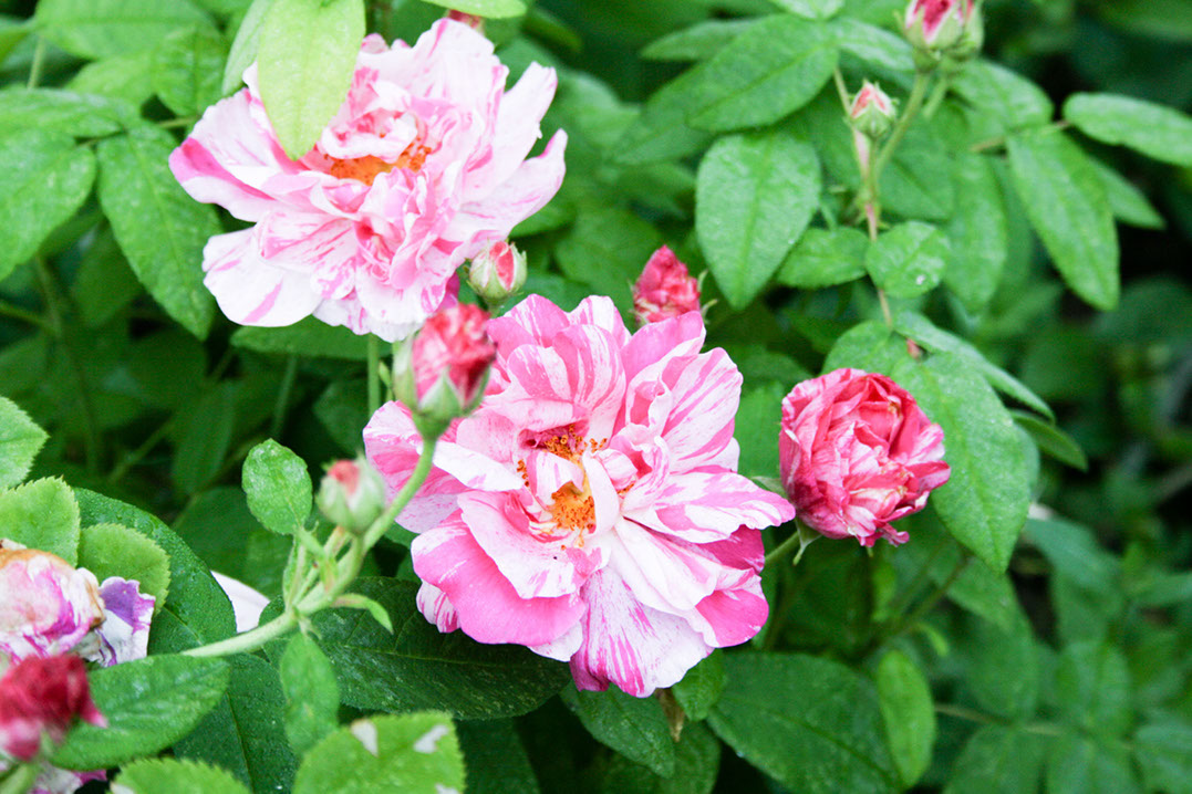 Kirjoapteekkarinruusu – Rosa Mundi