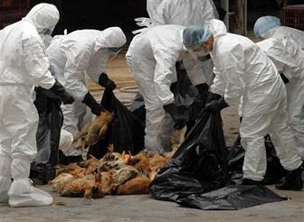 1月23日、生物兵器に転用されかねないとの懸念から、一時中断されていた強毒性の「H5N1型」鳥インフルエンザの研究が、再開されることになった。写真は2011年12月死んだニワトリを処分する香港の衛生当局者(2013年 ロイター/Siu Chiu)