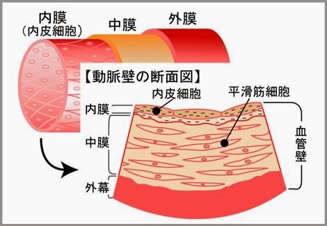 血管の内皮細胞の構造(内膜・中膜・外膜)