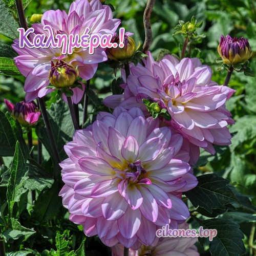 'Ομορφες καλημέρες με όμορφες ντάλιες.!eikones.top