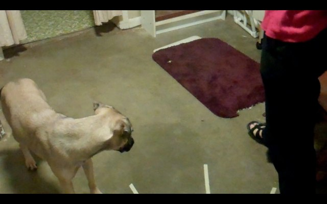 There is a purple bathmat on the floor with a small piece of kibble next to it. We can see the head and shoulders of a sand-colored dog, who is looking warily at the treat with her body language pulling backwards.
