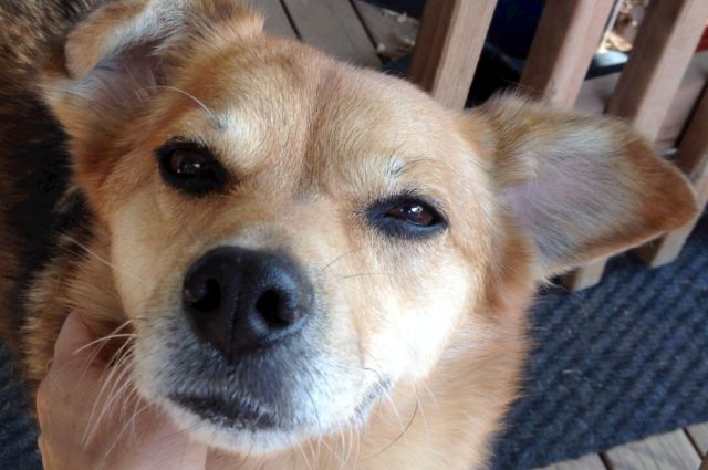 Closeup of the face of a caramel colored dog. Her eyes are squinted, her facial muscles are relaxed, and her ears are back. You can barely see a hand under her neck, petting her.