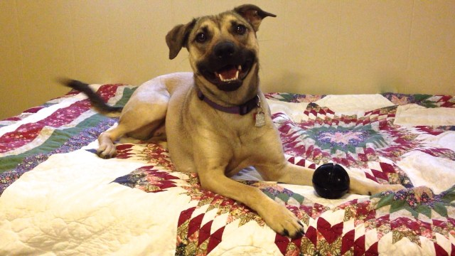 Tan dog lying on a bed, with her mouth open in a relaxed and happy expression. There is a black ball in front of her between her feet.