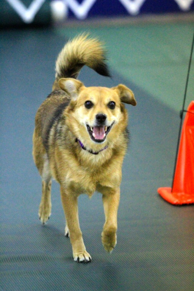Sable dog trotting toward camera with her mouth open and tail up (looking happy)