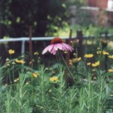 Coneflower and rosemary