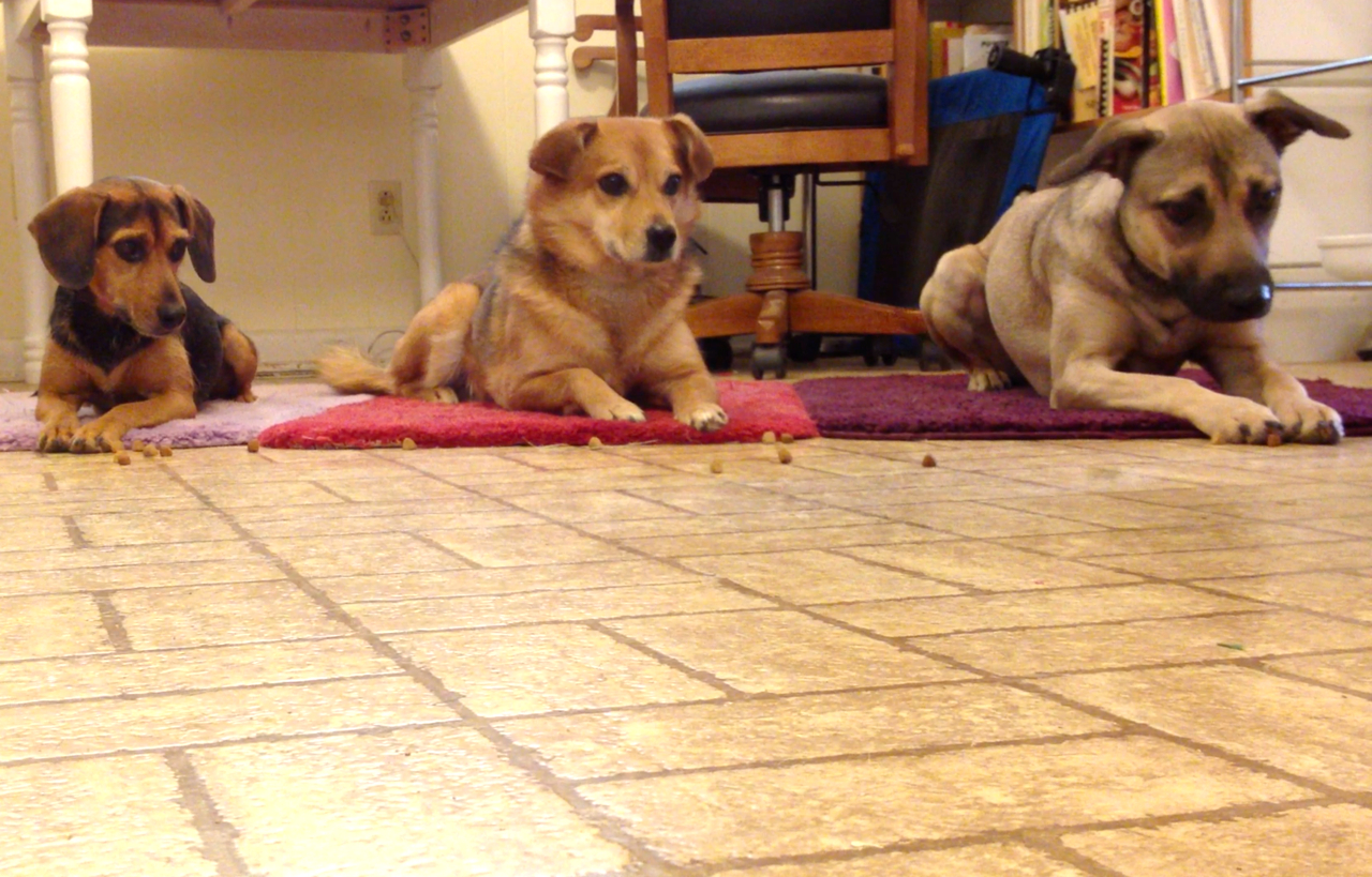 Three dogs practicing leave it: staying on their mats as treats roll by.