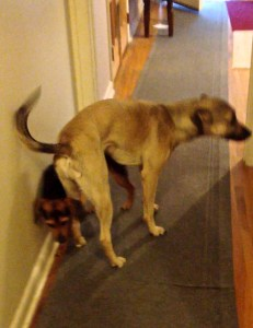 A tan dog has backed int a smaller black and rust hound mix and is pressing the smaller dog into the wall with her butt