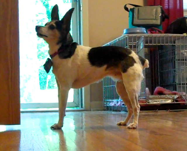 A small smooth coated white, black, and brown terrier with huge ears is standing very square on her feet and looking up.