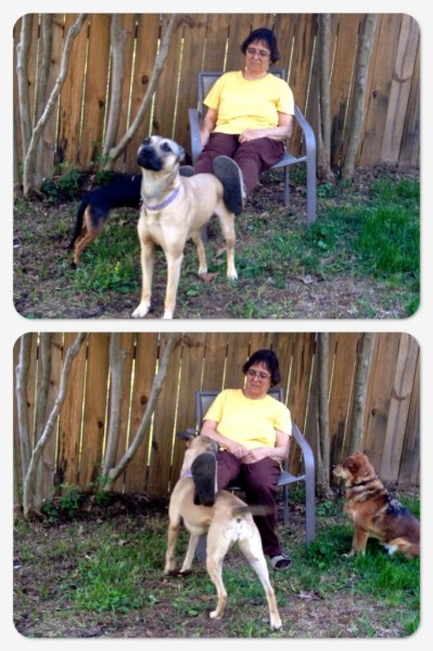Two photos of a tan dog with a  black muzzle and tail pressing up against a woman's feet and legs. The woman is sitting in a chair and the dog is walking under her legs in one photo, and backed up and pressing into her feet in anther