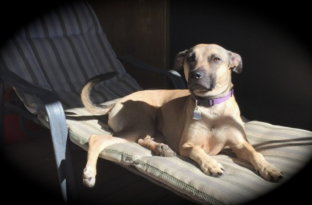 A tan dog with a black muzzle and tail is on a chaise longue. It's sunny and she is looking straight into the camera