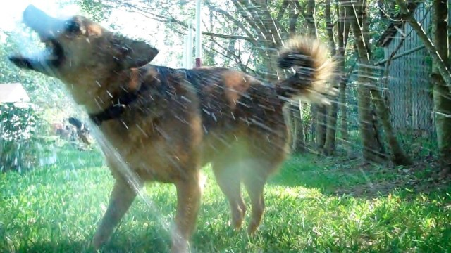 """The Dog Decides."" Photo shows a brown dog being sprayed with water from a garden hose. Her mouth is open, tail is up, and she is very happy."