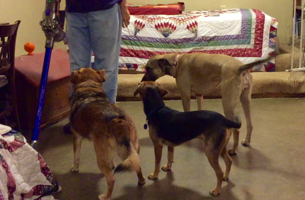 Three dogs group around a woman with a vacuum. The dogs have learned to associate the vacuum with good things through classical counterconditioning.
