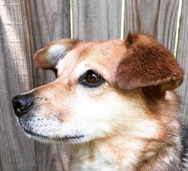 Brown mixed breed dog profile head shot