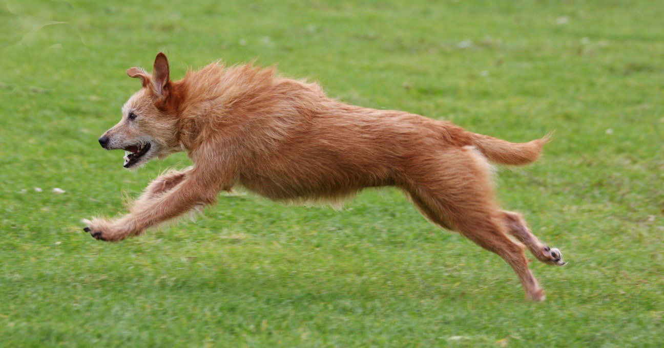 Brown, mixed breed dog zooming