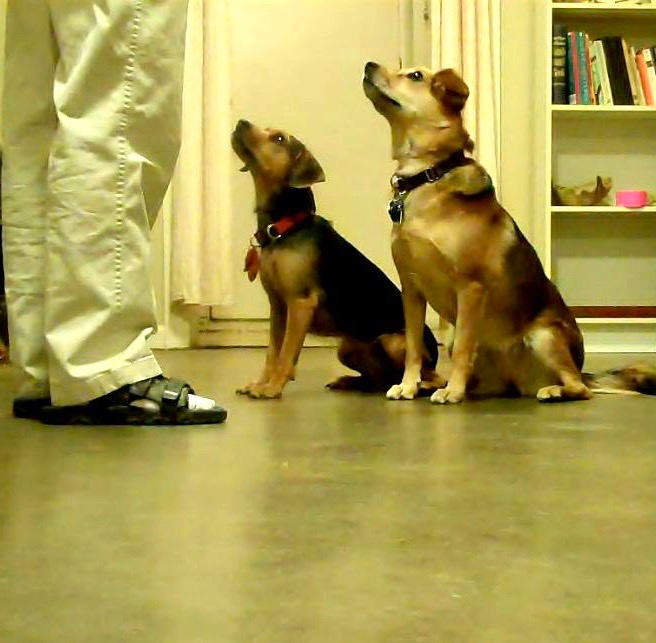 Two mixed breed dogs performing a sit stay in front of their trainer. They are looking up at her attentively.