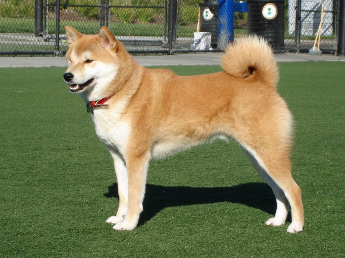 Light brown shiba inu dog with tail curled up over its back (normal carriage)