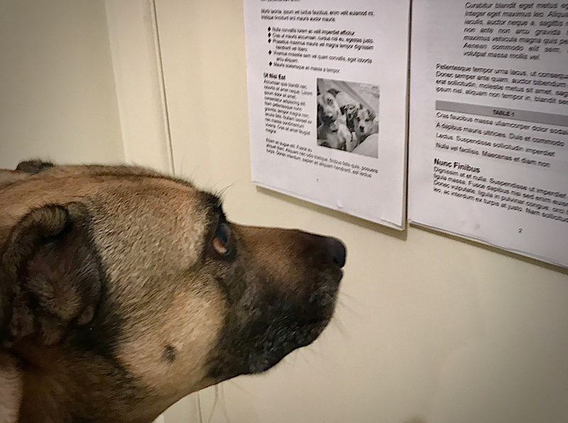 a worried looking brown dog looks at some text pinned to the wall