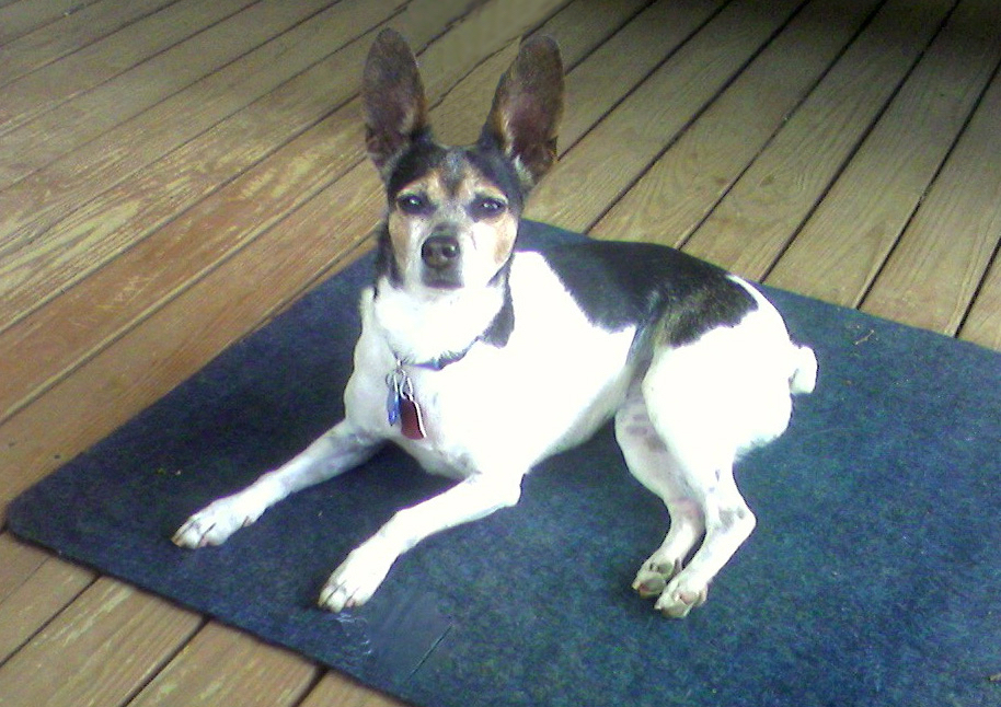 tri-color rat terrier with big ears lying on a blue mat