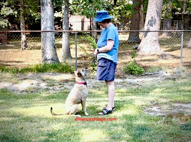 """Tan dog with black muzzle and tail sits in """"front"""" position and gazes up at a woman standing"""