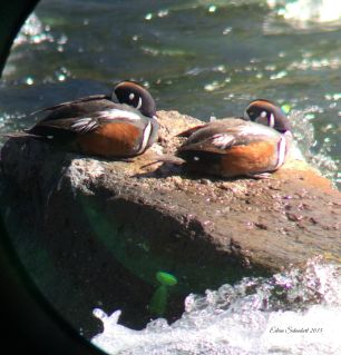 Magnificent ducks sunning themselves in a stream