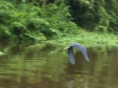 A Blue Heron in flight