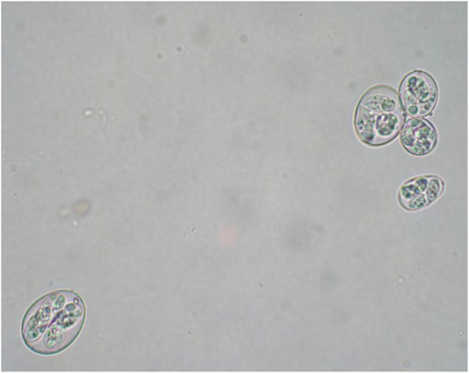 oocysts-o--5-species-included-in-HIPRACOX
