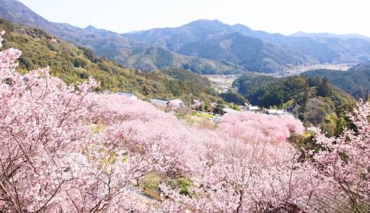 そうだ山 雪割り桜|春の陽射しの中で輝く!