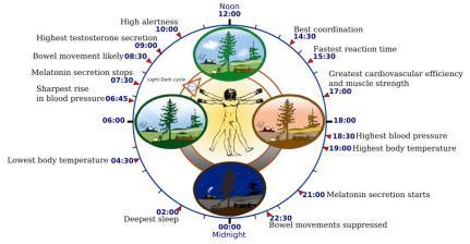 Fig. 1: Det cirkadiske system (fra Wikipedia)