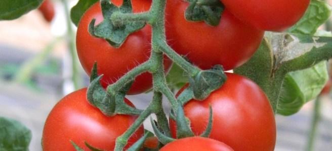 """Tomate """"Midi Plum"""". (c) KWS"""