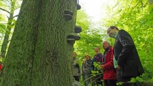 Minister im Märchenwald: Christian Meyer (r.) lässt sich die Besonderheiten des naturbelassenen Waldstücks in Einbeck von Gert Habermann und Henning Städtler (v.r.) erläutern, hier an einem mit Zunderschwamm bewachsenen Buchenstamm.