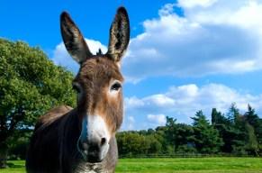 Zeig allen, dass du kein sturer Esel bist und entdecke, dass Esel weder stoerrisch noch dumm sind!